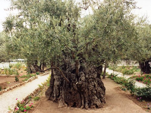 jardin-de-getsemani-olivo-centenario