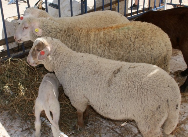 korban-sheep-768x561