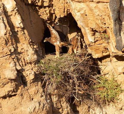 las-aguilas-construyen-nidos-alternativos-y-usan-repelentes-naturales-para-evitar-a-los-parasitos_image_380